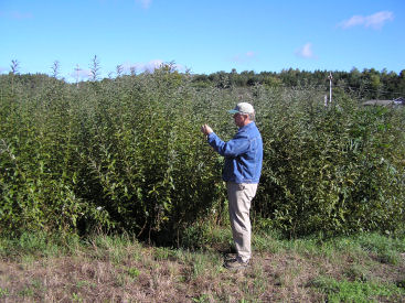 Bill Schroeder, AAFC-PFRA researcher, evaluates re-sprouting o­n harvested willow